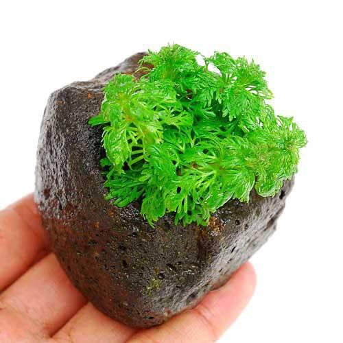 (水草)メダカ金魚藻 アンブリア(水上葉) 穴あき溶岩石付(無農薬)(1個)