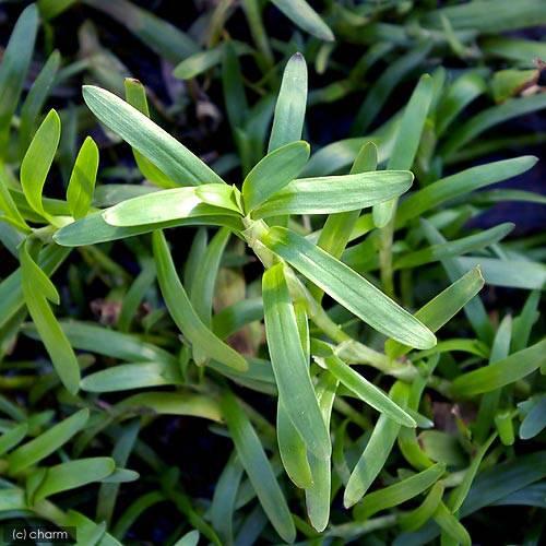 激安通販ショッピング 水草 ヘテランテラ 水上葉 4本 新品未使用正規品 無農薬