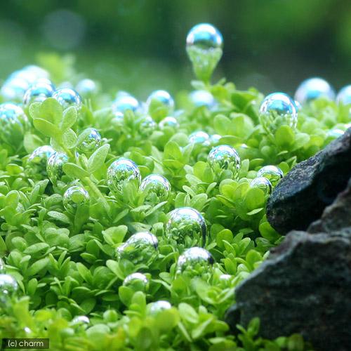 (Aquatic plants) Cuban Pearl glass (floating leaf) cubes type L size ( organic ) (1 piece)
