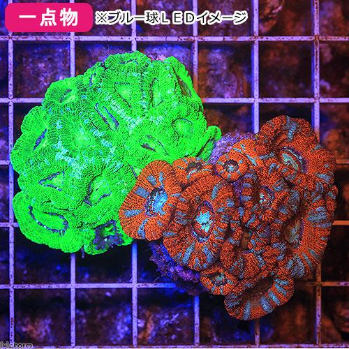 (海水魚 サンゴ)一点物 カクオオトゲキクメイシ レッドマルチ&メタリックグリーン CMS-027(1セット) 北海道・九州航空便要保温 沖縄別途送料