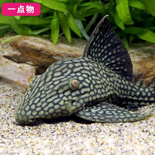 (熱帯魚)一点物 フルスポット・ロイヤルプレコ No.5 20~22cm(1匹)北海道航空便要保温 沖縄別途送料