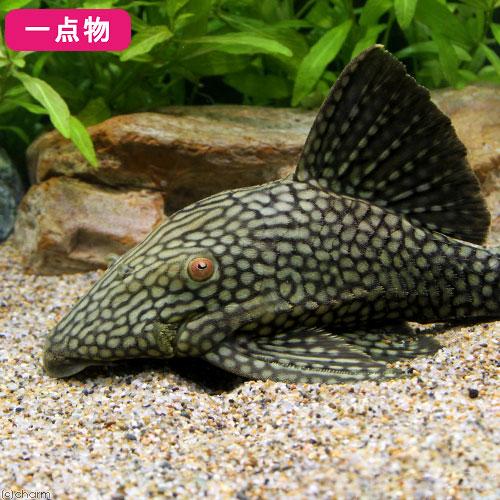 (熱帯魚)一点物 ハーフスポット・ロイヤルプレコ No.33 20~22cm(1匹)北海道・九州航空便要保温 沖縄別途送料