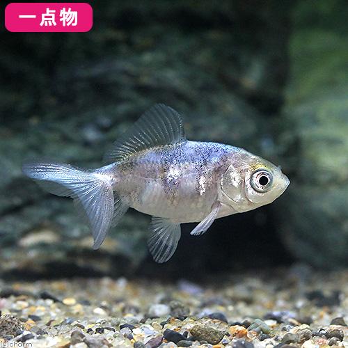(国産金魚)一点物 黒モザイク和金 5cm±(1匹) 沖縄別途送料
