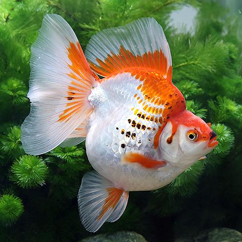 (金魚)一点物 更紗琉金 ブロードテール 11cm±(外国産)(1匹) 北海道・九州航空便要保温 沖縄別途送料