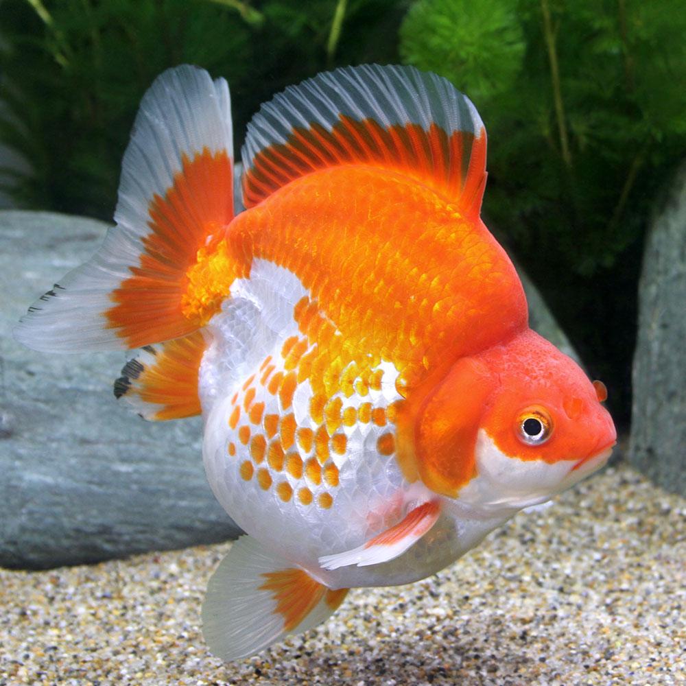 (金魚)一点物 更紗琉金 ショートテール 11cm±(外国産)(1匹) 沖縄別途送料