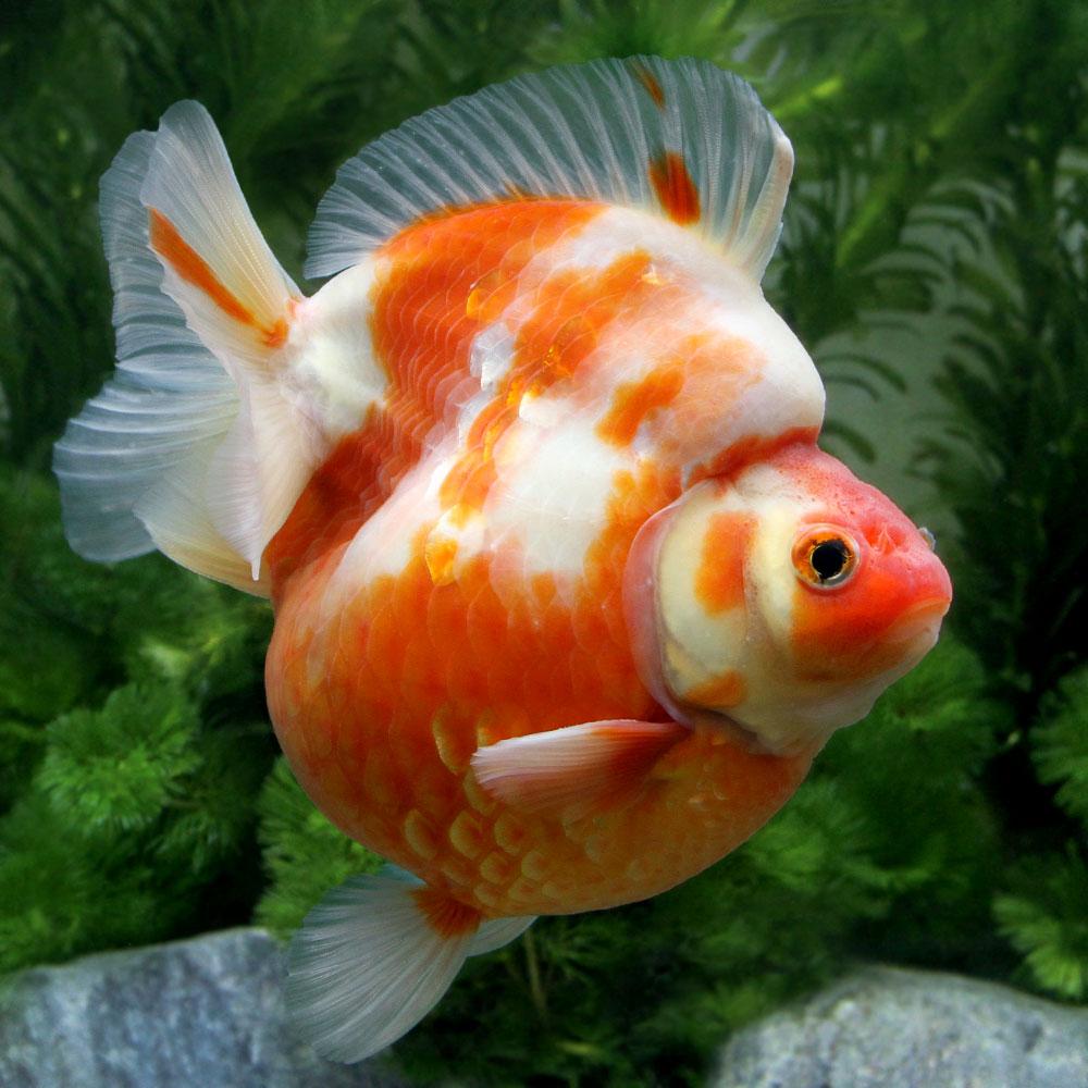(金魚)一点物 桜琉金 ショートテール 11cm±(外国産)(1匹) 沖縄別途送料