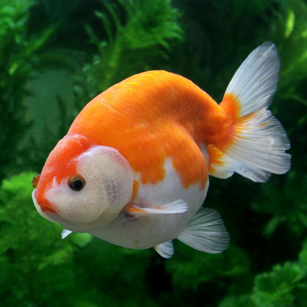 (金魚)一点物 紅葉らんちゅう 10cm±(1匹) 沖縄別途送料 北海道・九州航空便要保温