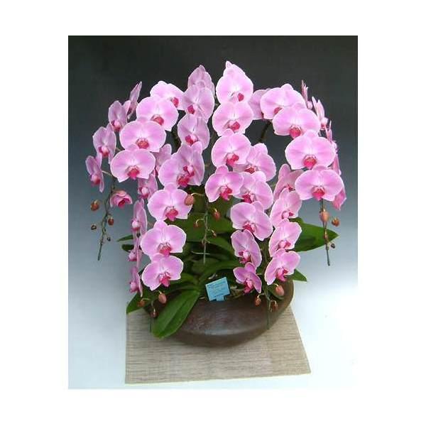 (観葉植物)生産者直送 胡蝶蘭 和鉢まどか 大輪系ピンク 別途送料