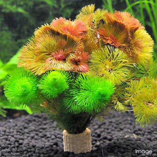 値引き 水草 メダカ 金魚藻 信託 ライフマルチ カボンバミックス 3個 茶