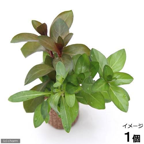 ハイクオリティ 水草 ライフマルチ 茶 ルドウィジアミックス 水上葉 待望 無農薬 1個