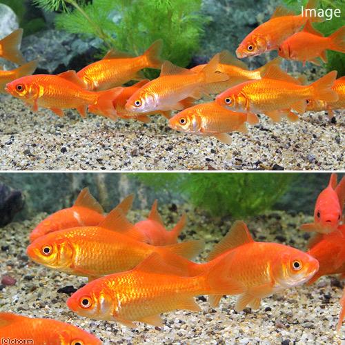 (goldfish) Money of goldfish (five) bait gold bait for the live bait small  wakin goldfish (コワキン) bait