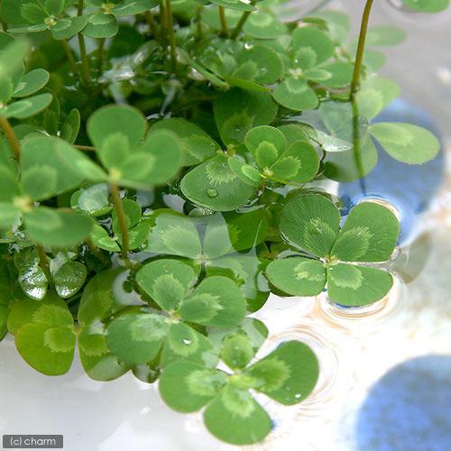 (ビオトープ/水辺植物)メダカの鉢にも入れられる水辺植物! ウォータークローバー ムチカ(3ポット分)
