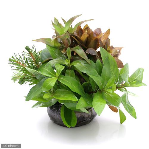 (水草)益子焼 朝摘みおまかせ寄せ植え 丈ショート(水上葉)(無農薬)(1個) 北海道航空便要保温