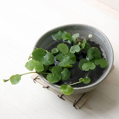 (水草)私の小さなアクアリウム ~ときめき かわいい丸葉のアマゾンチドメグサ(益子焼 脚付中鉢 白)~ 本州・四国限定