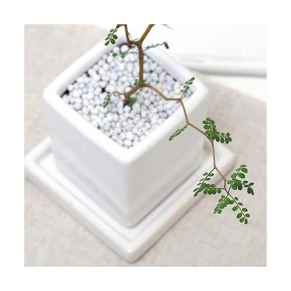 (観葉植物)メルヘンの木 ソフォラ リトルベイビー 陶器鉢植え ダイスM WH(1鉢) 受け皿付き