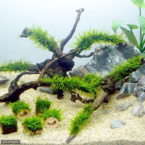 水草 育成済 ジャイアント南米ウィローモス 枝状流木 Mサイズ 1本 無農薬 約20cm~ 価格 ショッピング