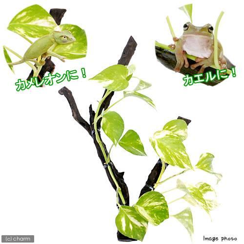 (感叶子)bibariumupurantsu漂流的木材安排~potosu~