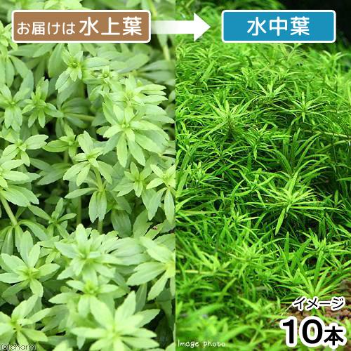 水草 ベトナムゴマノハグサ 水上葉 ご予約品 10本 無農薬 販売期間 限定のお得なタイムセール
