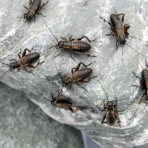 (生餌)フタホシコオロギ S 6.0グラム(約120匹) 爬虫類 両生類 餌 エサ 北海道航空便要保温