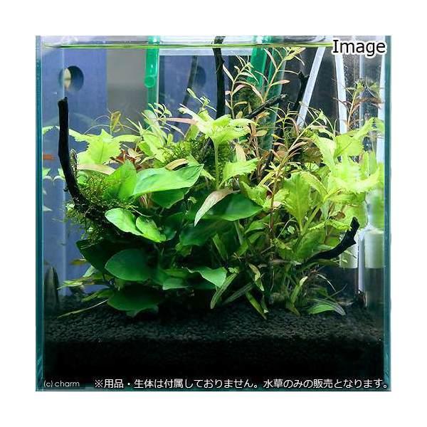 (水草)小型水槽用水草12種セット アヌビアスナナ(2)+ウィローモス付流木(2)+水上葉(10種×5) 説明書付