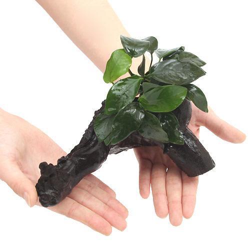 水草 5☆大好評 アヌビアスナナ 流木付 1本 送料無料でお届けします Mサイズ 約20cm