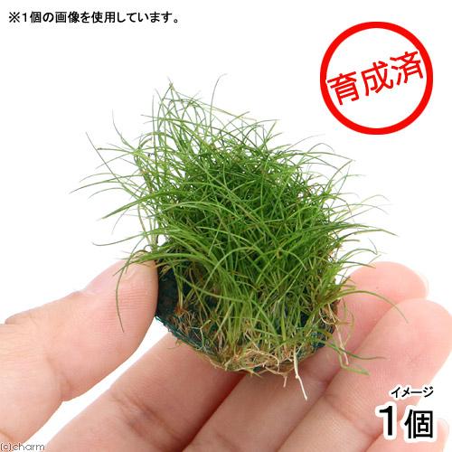 期間限定特価品 水草 育成済 オープニング 大放出セール ヘアーグラスショートボール 無農薬 1個