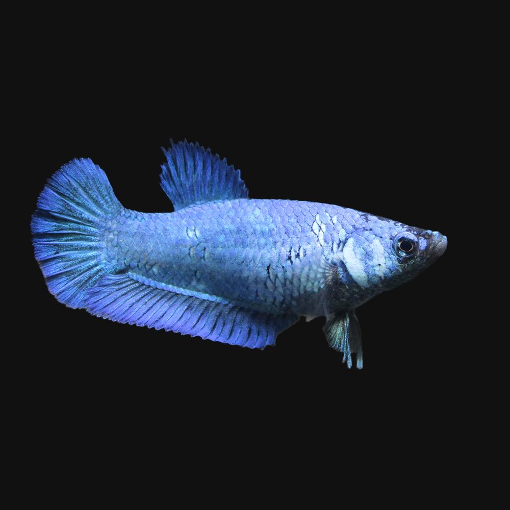 熱帯魚 公式通販 ベタ スーパーデルタテール 色指定なし 入手困難 北海道航空便要保温 メス 1匹