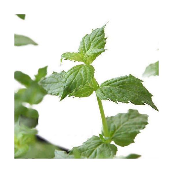 観葉植物 店 ハーブ苗 ミント 高品質 ペパーミント 3号 家庭菜園 ホワイト 1ポット