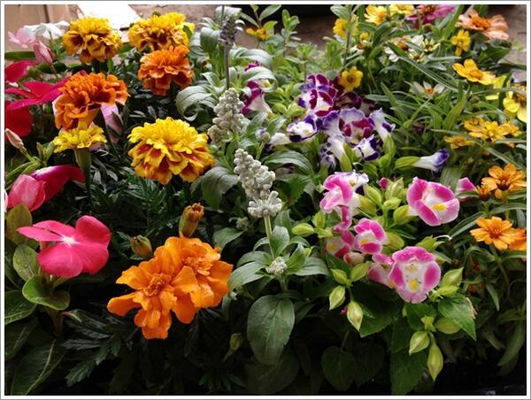 용기가 꽃 모 종 세트 30 개 「 가든 시 클 라 멘입니다 」