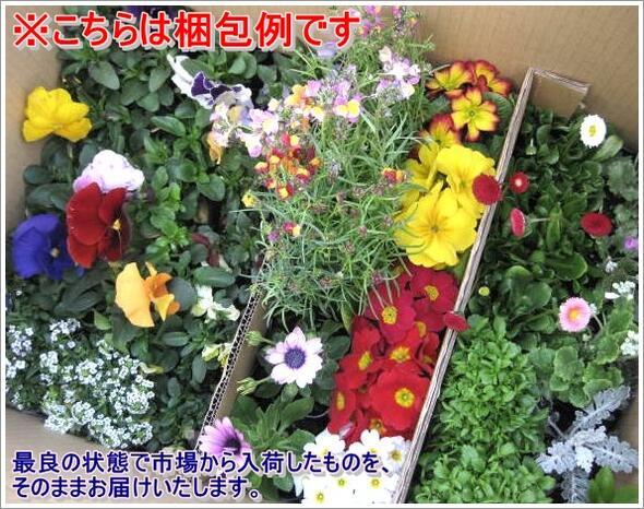 Sample flower seedlings set garden cyclamen 30 pieces