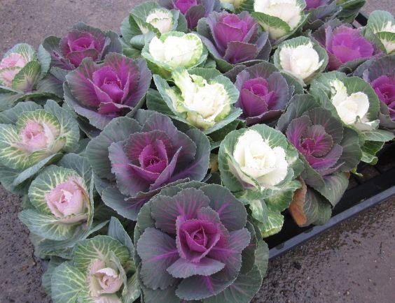 Chigusa 24 For Ornamental Cabbage Ornamental Cabbage Cut