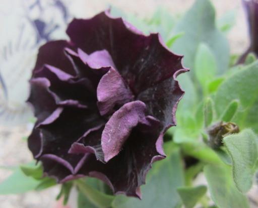 Chigusa Black Petunia Juliet Rakuten Global Market