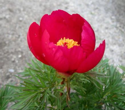 모란 실 잎 작 약 5.5 호 화분