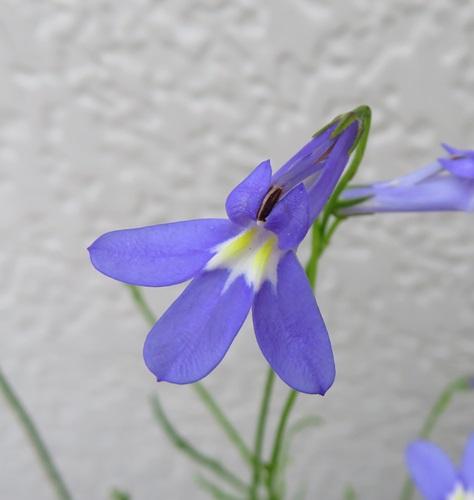Chigusa Perennial Plant Lobelia Para Sion Blue 25 Seedling