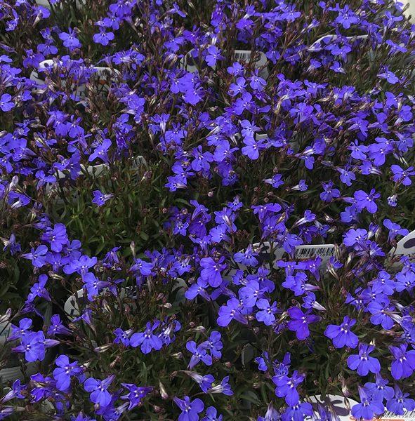 Chigusa Perennial Plant Lobelia Angel Dark Blue 3 Seedling