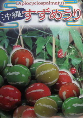 冲绳麻雀瓜6号盆栽