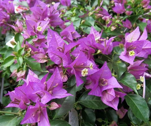 ブーゲンビレア  【花少なめ】ブーゲンビリア 薄紫 5号(hb)