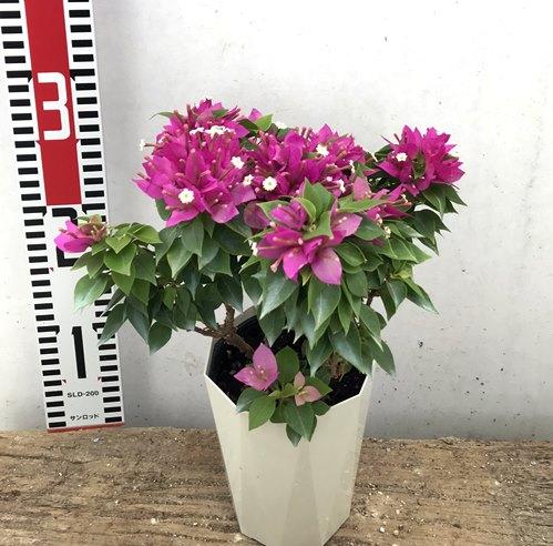 引き出物 配送員設置送料無料 葉も花も小ぶりで花が長期咲く品種 6種類から選べる ブーゲンビリア こなつ コナツ h12 4号鉢苗
