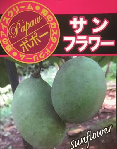 【花芽つき・現品】ポポー サンフラワー 10号鉢植え 101683 接木 果樹 落葉樹(z1)