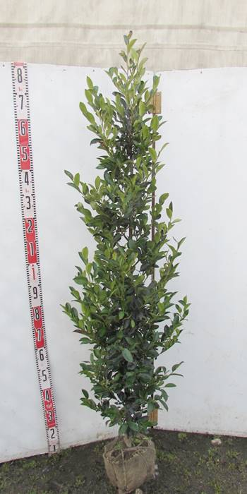 榊(サカキ) 苗木 1.6m