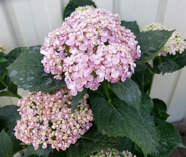 수 국 미카와 정열 (ミカワ 물) 핑크 5 호