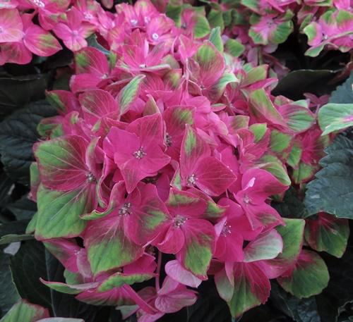 紫陽花(紫陽花、紫陽花)巴克波羅的5號苗a3