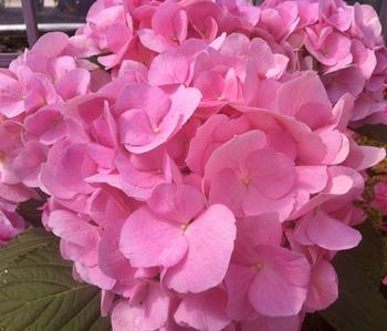 繡球花 (繡球,繡球) 粉紅色鑽石