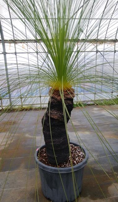 【現品】グラスツリー オーストラリス 幹高約42cm 10号鉢植え【産直】