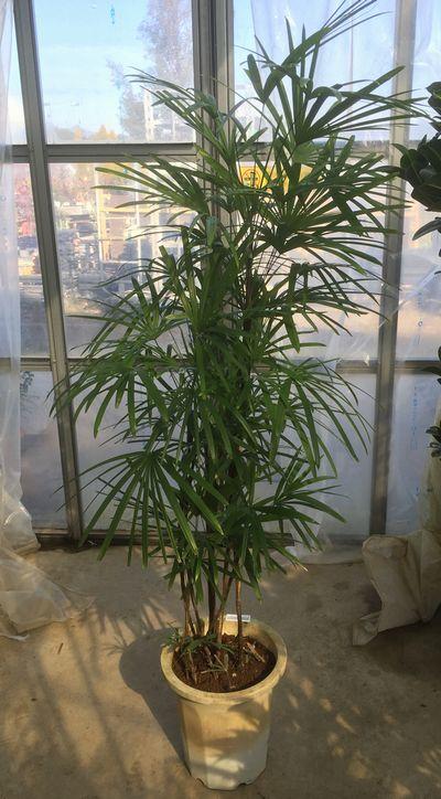 シュロチク 10号鉢植え