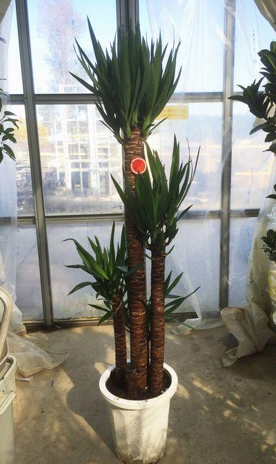 【観葉植物】ユッカ「青年の木」 10号鉢植え