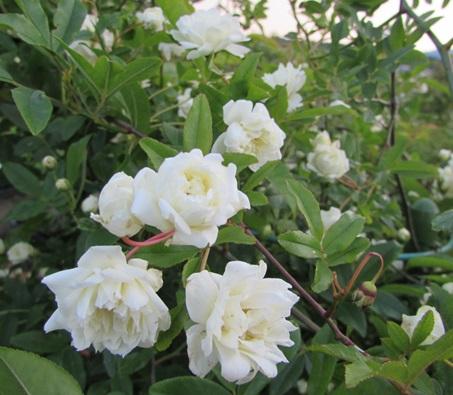 トゲがなくて育てやすい モッコウバラ 八重 白花 オールドローズ 新作多数 受注生産品 b ローソク仕立て6号苗木 k