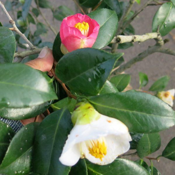 【現品】椿(ツバキ) 中部五色椿(チュウブゴシキツバキ) 1.6m 30221 《庭木や鉢植えとして人気な椿の苗木・植木》
