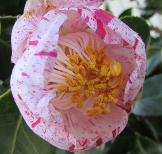 【現品】椿(ツバキ)玉霞 (タマガスミ) 1.6m 21654《庭木や鉢植えとして人気な椿の苗木・植木》