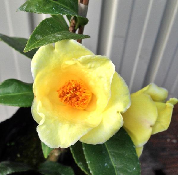 【現品発送】椿(ツバキ)初黄(ショコウ)1.1m 203052《庭木や鉢植えとして人気な椿の苗木・植木》